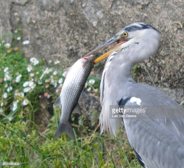 Heron with an fish in its beak.