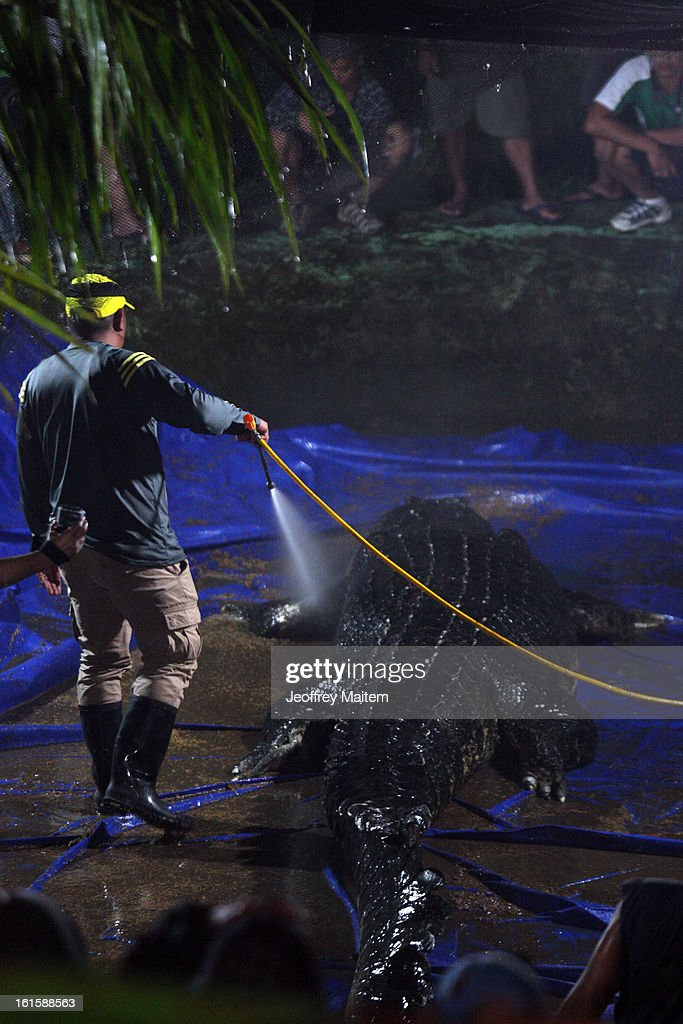A herpetologist hoses down the corpse before an autopsy is carried out to determine the cause of death of Lolong, the largest crocodile in captivity, at the conservation park on February 12, 2013 in Bunawan, Philippines. The 6.17 metre (20.24 feet) tetrapod fell ill and died two nights ago. The Guinness Book of World Records has now named a 5.48-meter (17-foot-11-inch) Queensland, Australia-based crocodile, called Cassius, as the largest captive crocodile. Lolong was captured in 2011 after he was suspected of biting a school girl's head off and eating a fisherman.
