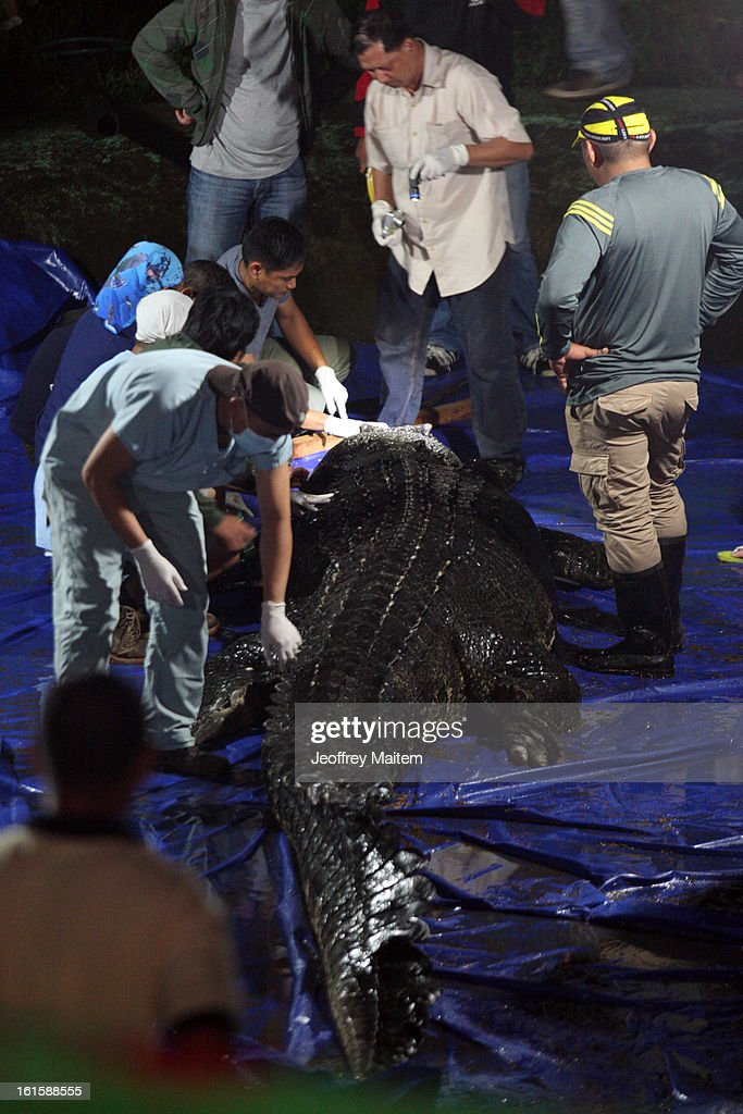 Herpetologists perform an autopsy to determine the cause of death of Lolong, the largest crocodile in captivity, at the conservation park on February 12, 2013 in Bunawan, Philippines. The 6.17 metre (20.24 feet) tetrapod fell ill and died two nights ago. The Guinness Book of World Records has now named a 5.48-meter (17-foot-11-inch) Queensland, Australia-based crocodile, called Cassius, as the largest captive crocodile. Lolong was captured in 2011 after he was suspected of biting a school girl's head off and eating a fisherman.