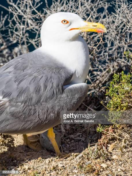 Herring Gull (Larus argentatus) female nesting, Mediterranean Sea,  Spain.