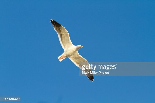 Herring Gull in Flight : Foto de stock