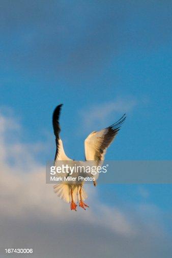 Herring Gull in Flight : Stock Photo