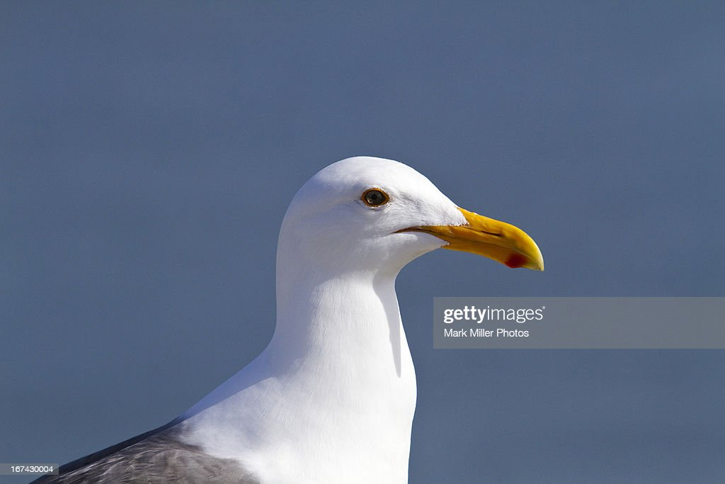Herring Gull Portrait : Stock Photo