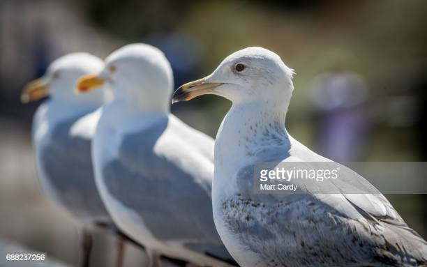 A herring gull stands on a railing besides the sea as people enjoy the fine weather on the beach in Lyme Regis on May 25 2017 in Dorset England Parts...