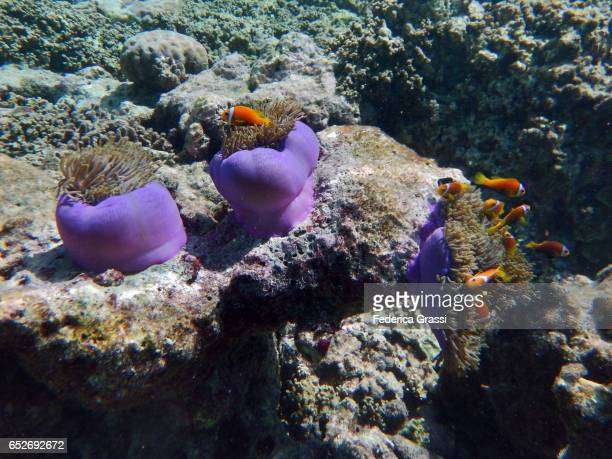 Heteractis Magnifica (Sea Anemone) with Amphiprioninae Fish (Clown Fish)