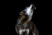 heulender Wolf II