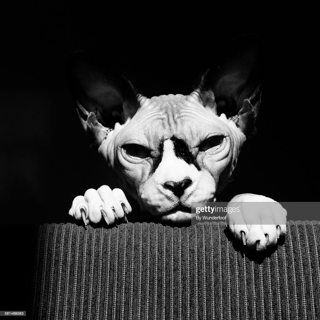 Sphynx cat on the lookout.