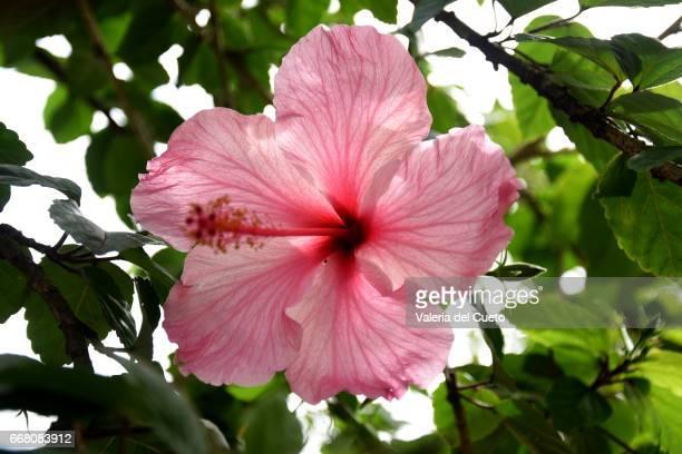 Hibisco rosa