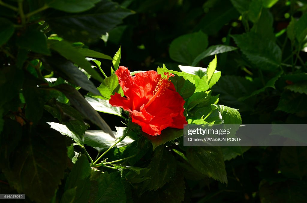 Hibiscus - Rose de Chine : Stock Photo