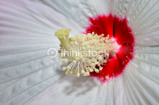 Hibiscus Flower Interior Pollen Stigma And Anther Stock Photo