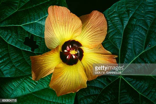 Hibiscus flower Nuku Hiva aerial view Marquesas islands French Polynesia
