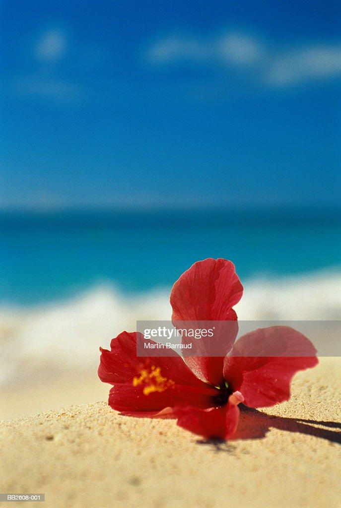 Hibiscus (Hibiscus sp.) flower on tropical beach : Stock Photo