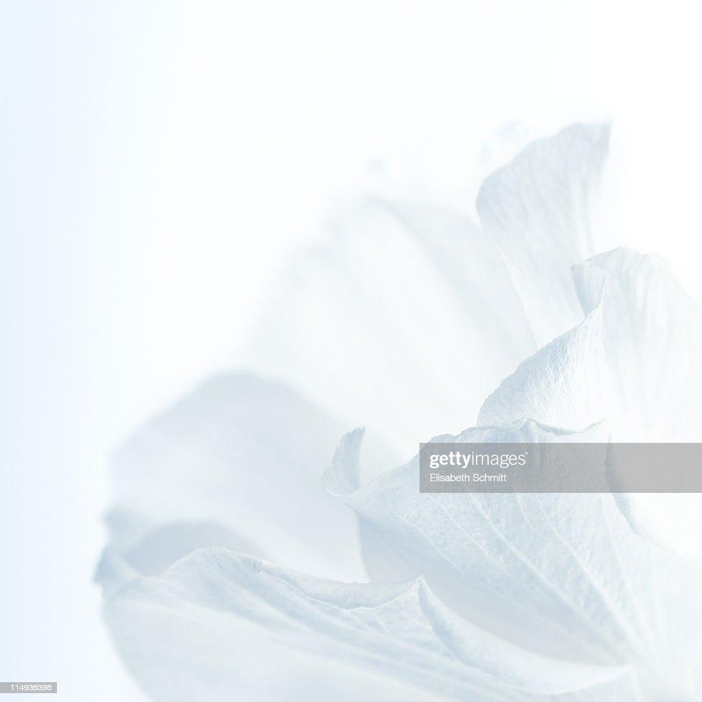 Hibiscus flower : Stock Photo