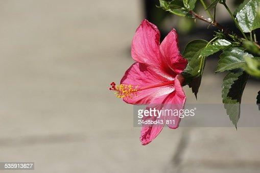 Flor de Hibiscus : Foto de stock