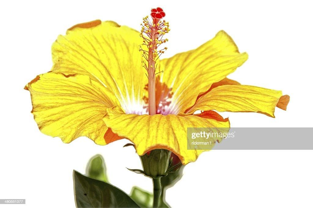 Flores de hibiscos : Foto de stock