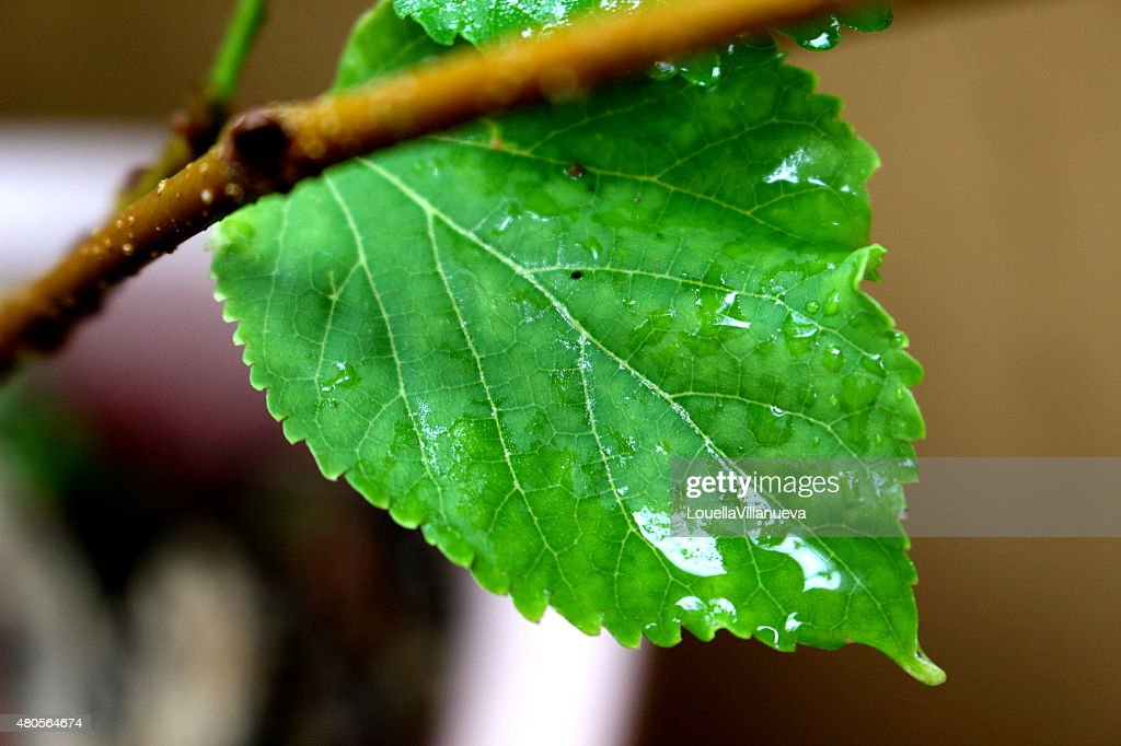 Hibiscus Leaves After the Rain : Stock Photo