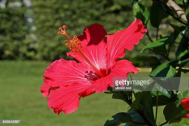 Hibiscus Malvaceae rosasinensis Chinesischer Roseneibisch in den Herrenhäuser Gärten in Hannover