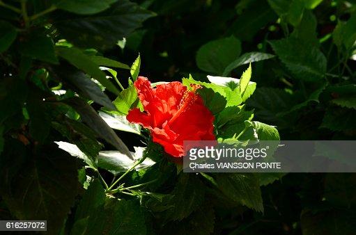 Hibiscus - Rose de Chine : Foto de stock