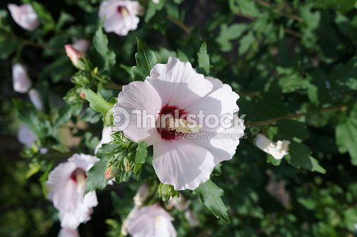 Hibiscus Syriacus White Rose Of Sharon Red Heart Stock Photo