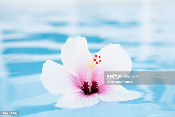 Hibiscus tropical flower floating on water