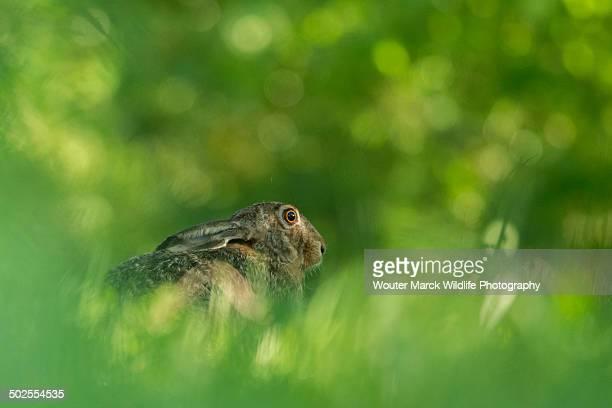 Hidden Brown Hare