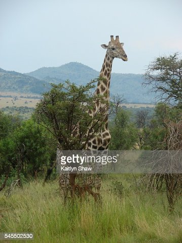 Hide and Seek Giraffe