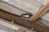 The rat walk in the space between the wooden beam and the roof tiles,Hiding of mice