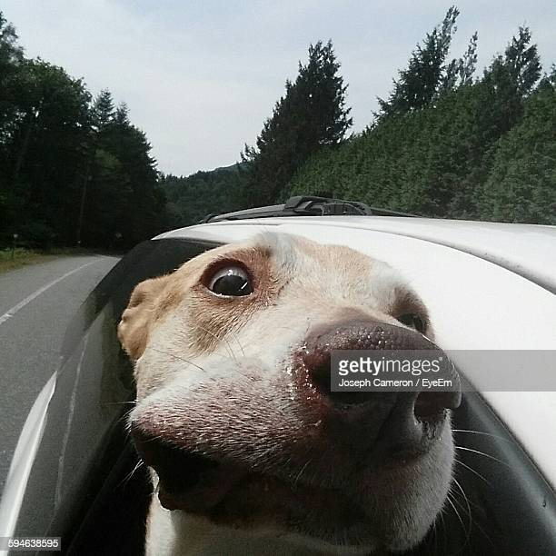 High Angle Portrait Dog In Car Window