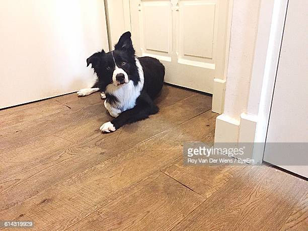High Angle Portrait Of Border Collie On Floorboard At Home