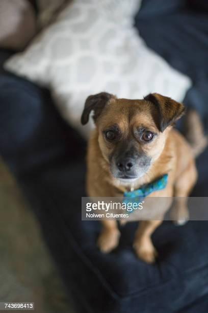High angle portrait of dog on sofa at home