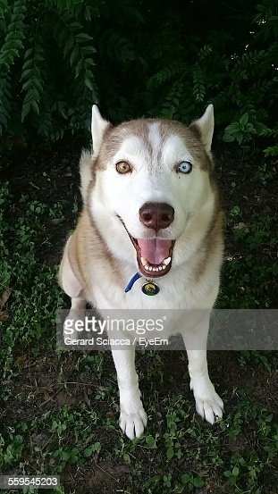 High Angle Portrait Of Siberian Husky On Field