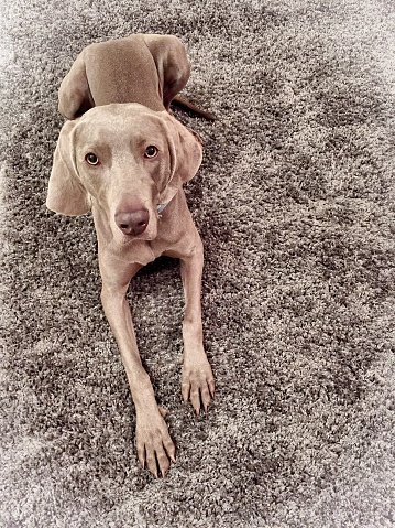 High Angle Portrait Of Vizsla Dog Relaxing On Rug At Home