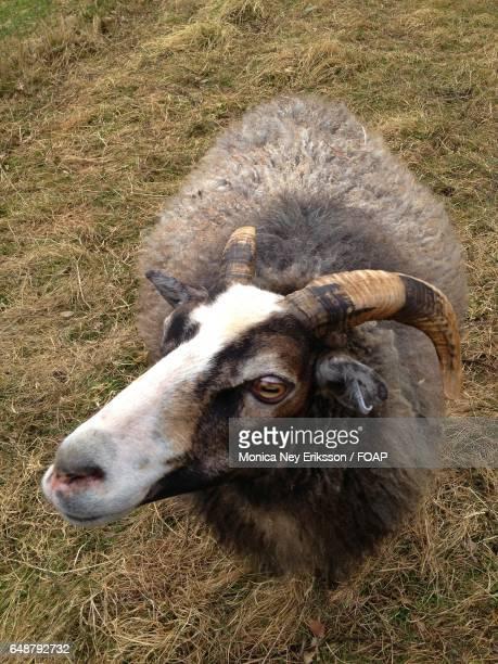 High angle view of a goat