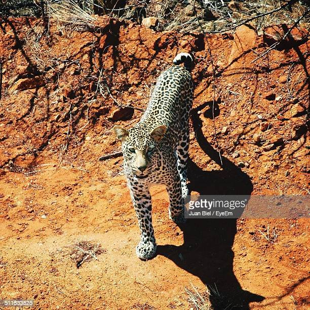 High angle view of a leopard staring