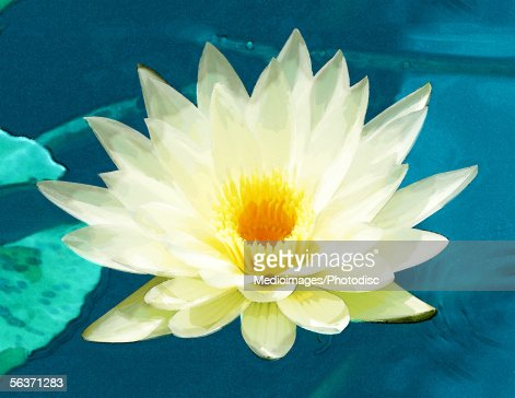 High angle view of a lotus : Stock Photo