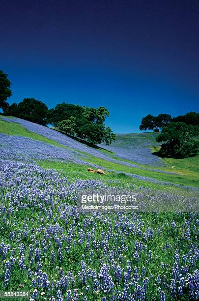 High angle view of a lupine field, Sonoma, California, USA