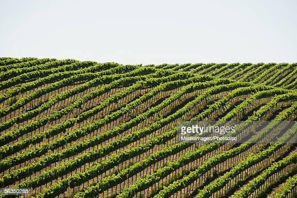 High angle view of a vineyard, Napa Valley, California, USA