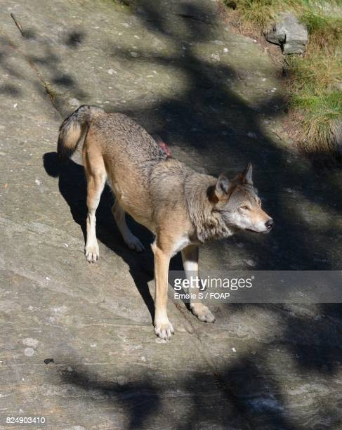 High angle view of a wolf in zoo