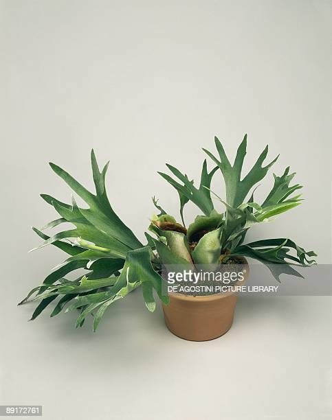 High angle view of an Elkhorn fern plant