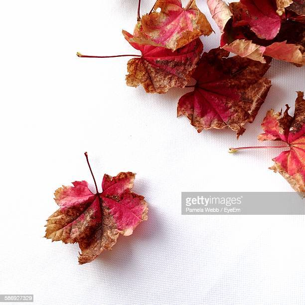 High Angle View Of Autumn Leaves Against White Background