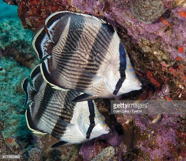 High Angle View Of Banded Butterflyfish Swimming In Sea