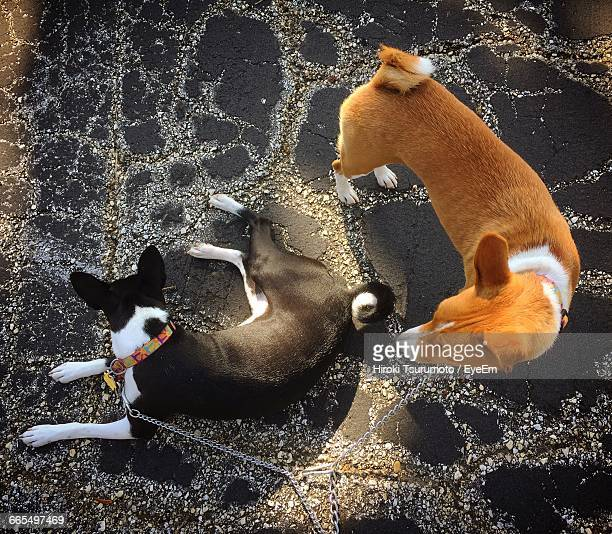 High Angle View Of Basenji Dogs On Walkway