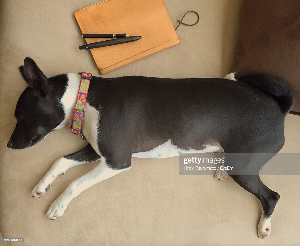 High Angle View Of Basenji Relaxing On Bed At Home