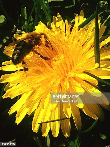 High Angle View Of Bee On Yellow Flower