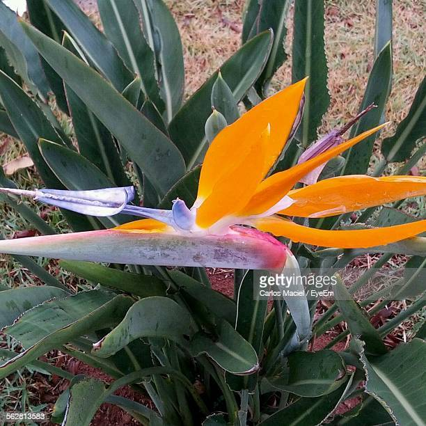High Angle View Of Bird-Of-Paradise