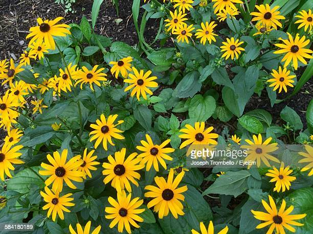 High Angle View Of Black-Eyed Susans Blooming On Field