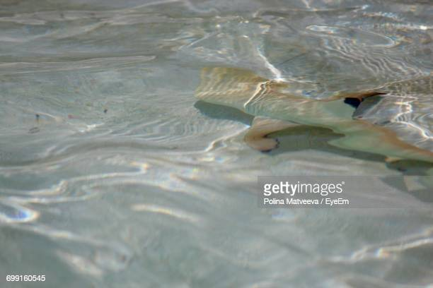 High Angle View Of Blacktip Reef Shark Swimming In Sea