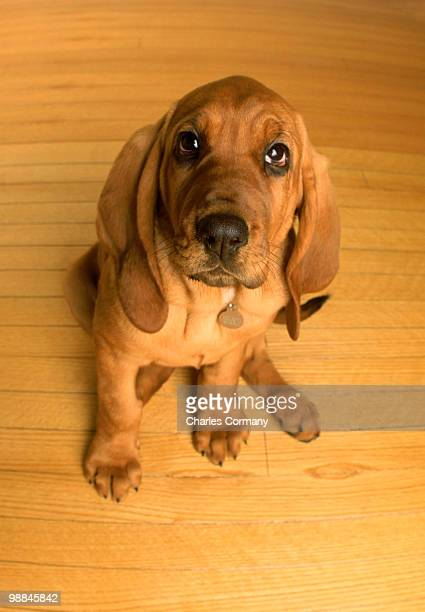 High angle view of bloodhound puppy