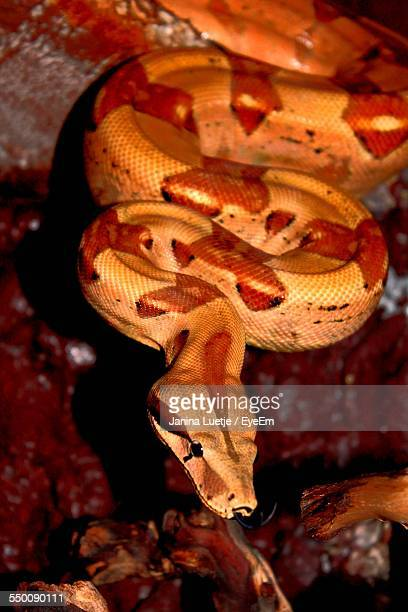 High Angle View Of Boa Constrictor On Tree Trunk
