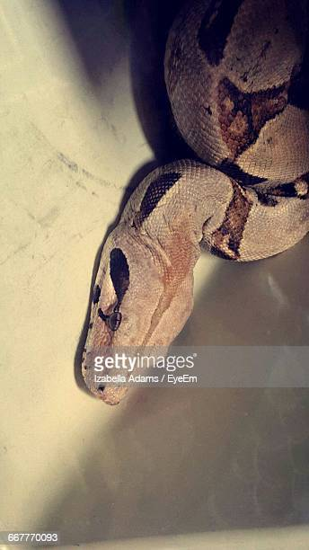 High Angle View Of Boa Constrictor